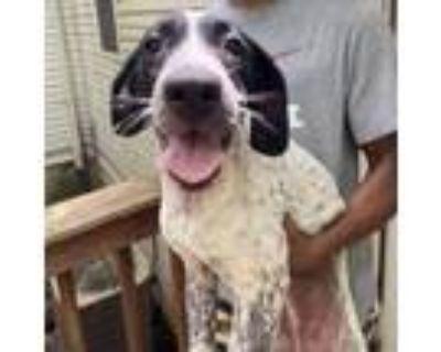 Adopt Cupcake a Australian Cattle Dog / Blue Heeler, Labrador Retriever