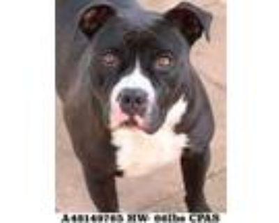 Adopt Dakota a Black American Pit Bull Terrier / Mixed dog in Shreveport
