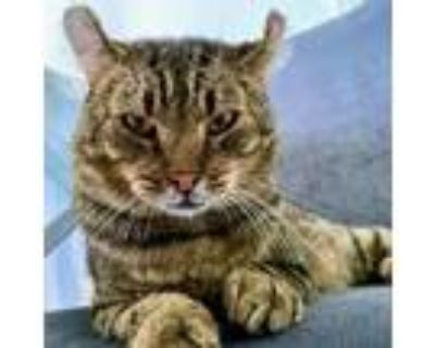 Adopt Max a Brown or Chocolate American Curl / Mixed cat in Long Beach