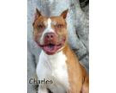 Adopt CHARLES WILSON a Pit Bull Terrier