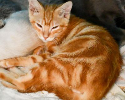 Flick - Domestic Medium Hair - Kitten Male