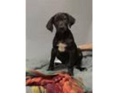 Adopt A429694 a Hound, Labrador Retriever