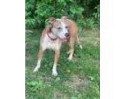 Adopt Maggie May a American Pit Bull Terrier / Mixed dog in Bloomington