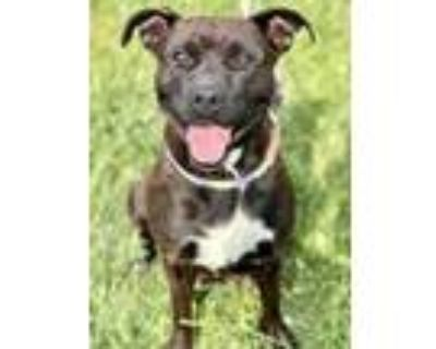 Adopt Jolene a Black American Pit Bull Terrier / Mixed dog in Noblesville