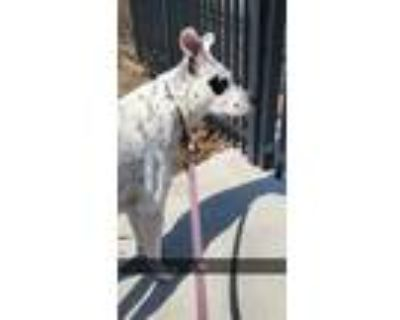 Adopt Harvey a Black - with White Shepherd (Unknown Type) / Mixed dog in