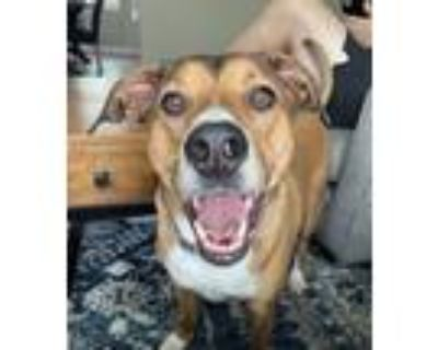 Adopt Luna a Brown/Chocolate - with White Beagle / Boxer / Mixed dog in