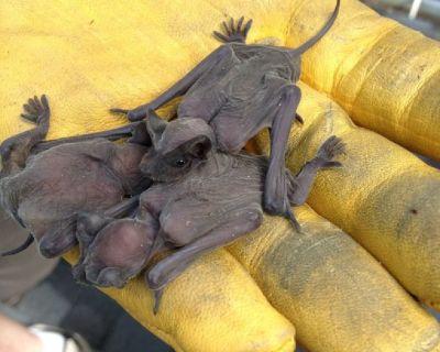 Bat Removal Services Atlanta