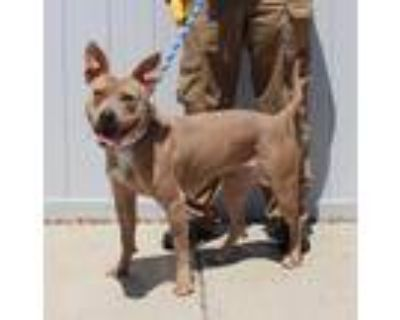 Adopt JUNEAU a Brown/Chocolate - with White American Pit Bull Terrier / Mixed
