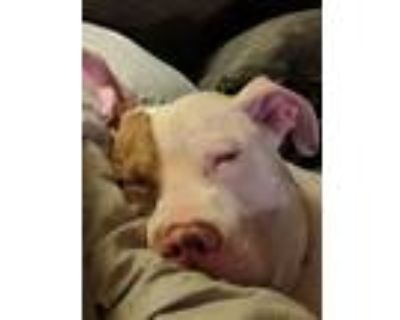 Adopt Broozer a White - with Red, Golden, Orange or Chestnut Boxer / Pit Bull