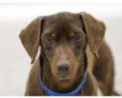 Adopt Max a Brown/Chocolate Dachshund / Mixed dog in Colorado Springs