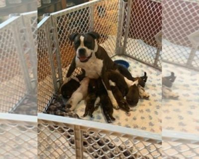 AKC REGISTERED BOXER PUPPIES