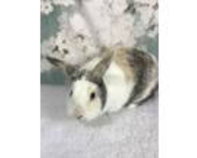 Adopt Claire a White Other/Unknown / Mixed (short coat) rabbit in Auburn