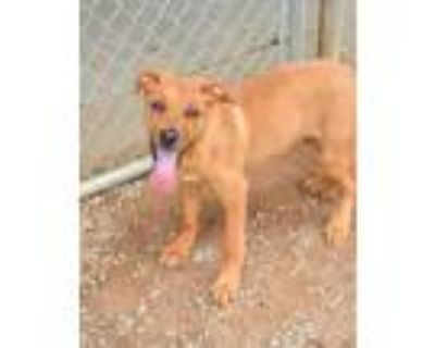 Adopt Buddy Orange a Brown/Chocolate Retriever (Unknown Type) / Mixed dog in