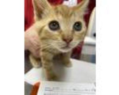 Adopt MG Kyo (Key-oh) a Domestic Mediumhair / Mixed (medium coat) cat in