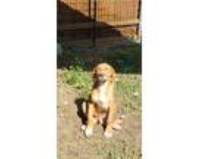 Adopt Hunter a Red/Golden/Orange/Chestnut Golden Retriever dog in Garland