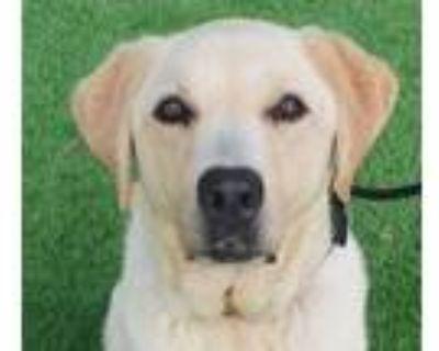 Adopt Tan a Labrador Retriever