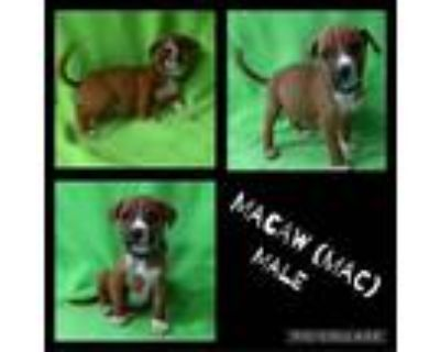 Adopt Macaw a White - with Tan, Yellow or Fawn Boxer / Mixed dog in El Dorado