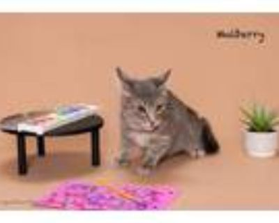 Adopt Mulberry a Domestic Short Hair