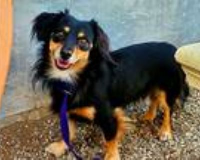 Adopt Max a Black - with Tan, Yellow or Fawn Dachshund / Mixed dog in Downey