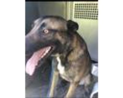 Adopt Sammy a Brown/Chocolate Belgian Malinois / Mixed dog in Fort Worth