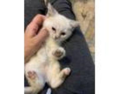 Adopt Siamese mix kittens a Siamese, Domestic Short Hair