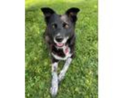 Adopt Lilly a Cattle Dog, Border Collie