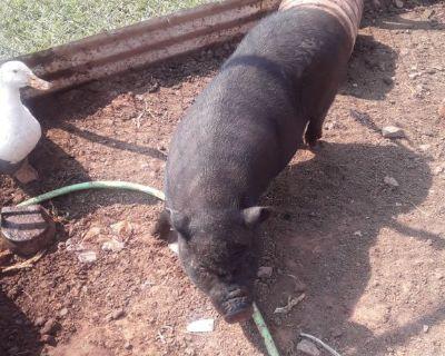 2 female mini pot belly pigs