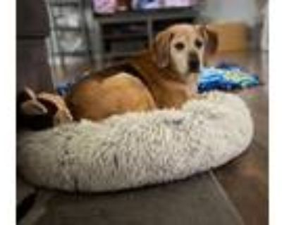 Adopt Kaely a Tan/Yellow/Fawn Beagle / Shepherd (Unknown Type) / Mixed dog in