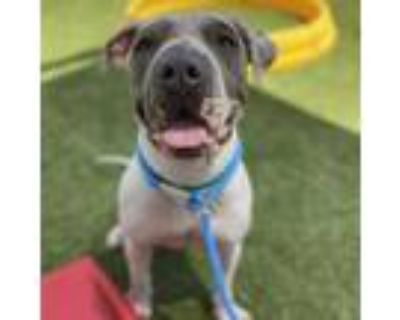 Adopt Isadora Pearl a White - with Tan, Yellow or Fawn Shar Pei / Mixed dog in