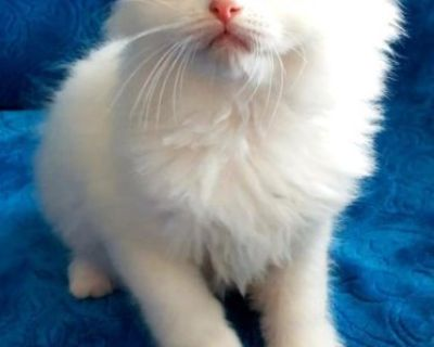 Ragdoll Kitten looking for forever home
