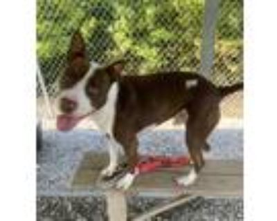 Adopt Storm a Brown/Chocolate - with White American Pit Bull Terrier / Mixed dog