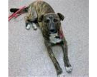Adopt NELLIE a Brindle - with White Hound (Unknown Type) / Australian Cattle Dog