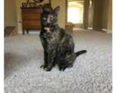 Adopt Lialo a All Black Domestic Shorthair / Domestic Shorthair / Mixed cat in