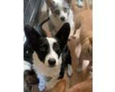 Adopt Soka a Corgi / Border Collie / Mixed dog in Denver, CO (32642935)