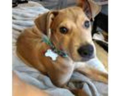 Adopt BITTMORE SOCIETY a Labrador Retriever, Mixed Breed