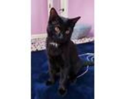 Adopt Toby a Black (Mostly) American Shorthair / Mixed (short coat) cat in