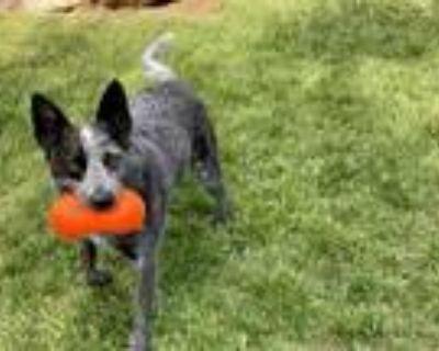 Adopt Finn a Australian Cattle Dog / Blue Heeler