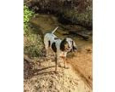 Adopt Belle a Black - with White Bluetick Coonhound / Mixed dog in North