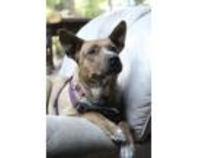 Adopt Molly a Brindle - with White Shepherd (Unknown Type) / Mixed dog in