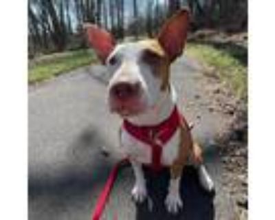 Adopt Twix a Terrier (Unknown Type, Small) / Ibizan Hound / Mixed dog in Newark