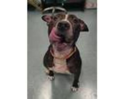 Tiny Tab, American Staffordshire Terrier For Adoption In Richmond, Virginia