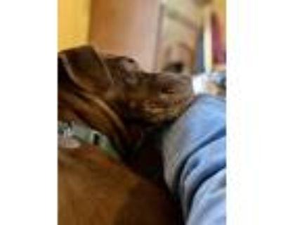 Adopt Duke a Labrador Retriever