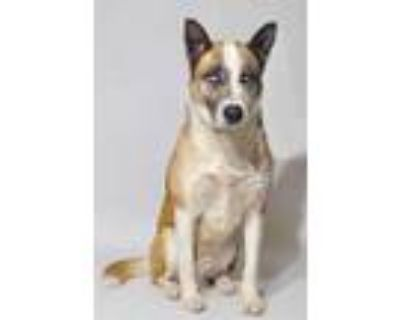 Adopt *YOSHI a Brown/Chocolate - with White Akita / Mixed dog in Bakersfield