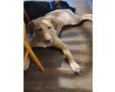 Adopt Benelli May a Tan/Yellow/Fawn Golden Retriever / Retriever (Unknown Type)