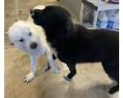 Adopt Luke and Bear a Labrador Retriever, Chow Chow