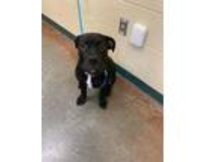 Adopt Cali a Black Labrador Retriever / Boxer / Mixed dog in Independence