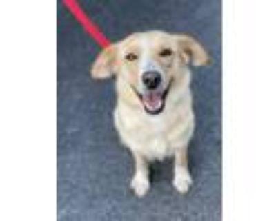 Adopt Kira a Yellow Labrador Retriever, Collie