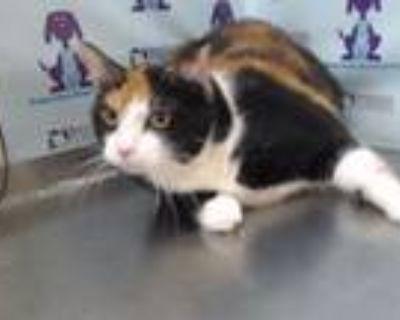 Adopt A453991 a Domestic Short Hair