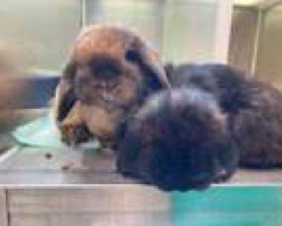 Adopt JOJO a Black Mini Lop / Mixed rabbit in Brighton, CO (31903863)