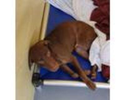 Adopt Dixon a Labrador Retriever, Mixed Breed